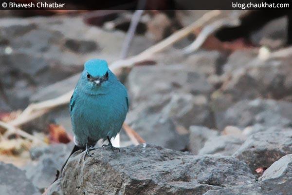 Verditer flycatcher in the Angry Bird pose [Eumyias thalassinus, Stoparola melanops, Eumyias thalassina]